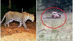 VIDEO: तेंदुए को निगलनेके लिए छिपाथाअजगर, फिर जो हुआ उसे देख पूरी दुनिया दंगहै