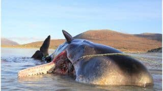 100 Kg Of Plastic, Cups and Ropes Found In Sperm Whale's Stomach In Scotland