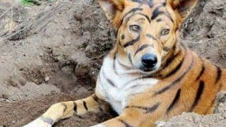 Farmer Paints His Dog to Look Like A Tiger To Scare Away Monkeys In Karnataka