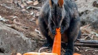 Thousands of Kilos of Carrots & Sweet Potatoes Dropped for Starving Animals Amid Bushfire Crisis