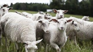 63 Sheep Found Dead in Mysterious Circumstances in UP Village, Case Of Poisoning Suspected