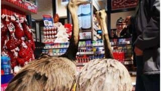 Two Slovenians Fined After Roaming Around Venice With Two Ostrich-Like Birds