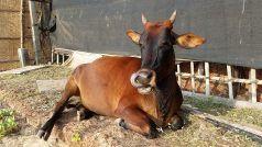 हैवानियत की हदें फिर हुईं पार, गर्भवती हथिनी के बाद अब गाय को खिलाया विस्फोटक