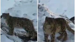 'Rare Sight': Snow Leopard Spotted in Himachal's Spiti Valley, Video Amazes Netizens | Watch