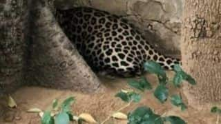 Forest Officials Catch Leopard After It Creates Panic At Udaipur City Palace