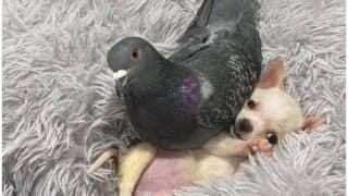 Adorable Friendship Between a Flightless Pigeon and Puppy Who Can't Walk Is Melting Hearts Everywhere