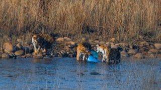 Heartbreaking Photo of Corbett Tigers Chewing on Plastic Container Goes Viral, Probe Ordered