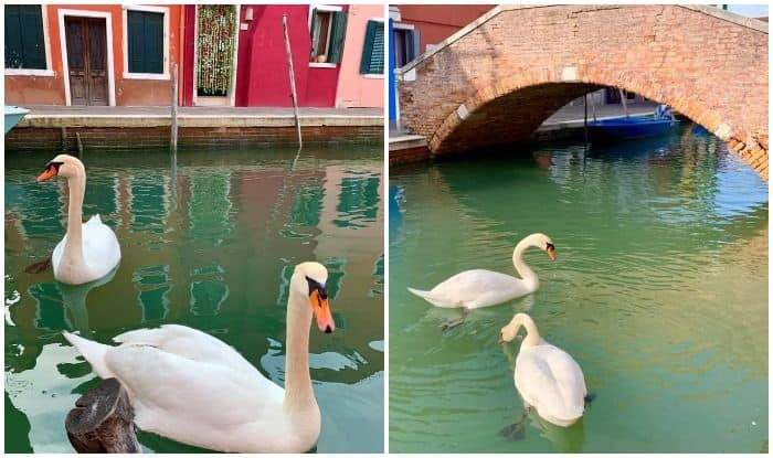 Unexpected Side Effect: Air Becomes Cleaner, Swans Return to ...