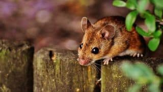Breaking News: After Coronavirus, Hantavirus Killed a Person in China; Here is All You Need to Know About This Pathogen
