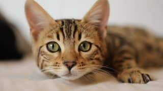 Cat In Belgium Tests Positive For Coronavirus After Being Infected By Owner, Experts Say 'Rare Case'