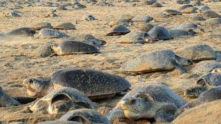 As Indians Stay Inside in Lockdown, Over 8 Lakh Olive Ridley Turtles Appear on Odisha Coast to Lay Around 6 cr Eggs
