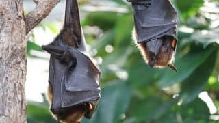 COVID-19 Bat Theory: New Study Finds Coronavirus Has Been Circulating in The Animal For Decades