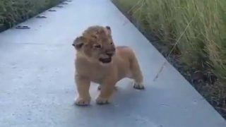 Video : सोशल मीडिया पर वायरल हो रहा है यह नन्हा शेर, 'दहाड़' देख इसकी आपको भी हो जाएगा प्यार