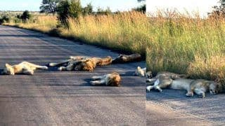 Lions Enjoy a Peaceful Sleep on Deserted Roads of South Africa Amid COVID-19 Lockdown - Viral Photos