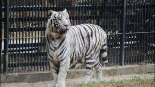 Delhi Zoo's Famous White Tigress Kalpana Dies at 13, IVRI Confirms Death Out of Renal Failure And Not Covid-19