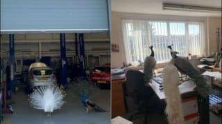 Violating Lockdown: Garage Owner Gets Shock of Life as Gang of Peacocks Invade His Office, Refuse to Move Out