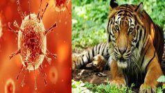 कोरोना ने इंसानों के बाद जानवरों को बनाया शिकार, न्यूयॉर्क में COVID-19 पॉजिटिव मिली बाघिन
