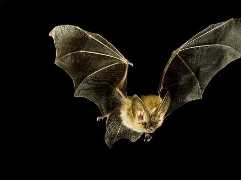 Bats Have Allegedly Carried Deadly Coronavirus But Not Succumbed to it Because of THIS reason