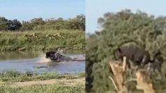 शेरों ने घेरकर किया हमला, तो उड़कर कुछ यूं भाग निकला जंगली भैंसा, खूब वायरल हो रहा यह वीडियो