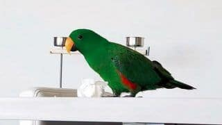 Smart Parrot Flies to Freedom After Refusing to Choose Owner or Alleged Abductor