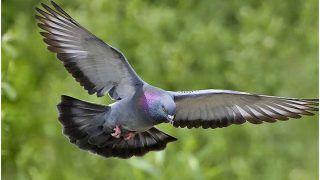 शर्मनाक: युवक ने पड़ोसी को सबक सिखाने को मार डाले 11 कबूतर...