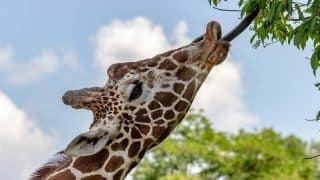 Ex-IAF Officer Adopts First Giraffe in Bengaluru Zoo, Donates Rs 1 Lakh