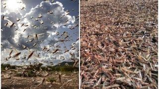 Terrifying Videos of Locust Attack Take Over Twitter; 'What's Wrong With You 2020', Ask Netizens