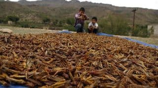What is Locust Plague And Why Should India be Worried - All You Need to Know