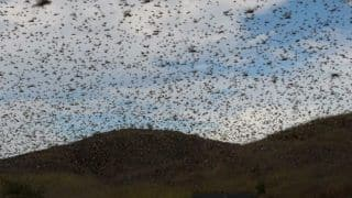 Beware of Locust Swarm as Air Intake Ports Can be Blocked: DGCA Issues Notice to Pilots