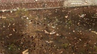 After Rajasthan, Locusts Enter Maharashtra, Delhi - Why is This a Worrying Situation?