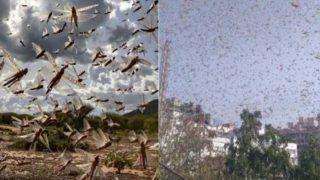 Locust Latest Update: उत्तर प्रदेश के इन दस जिलों में टिड्डी दल के पहुंचने की आशंका, सरकार ने जारी किया हाई अलर्ट का नोटिस