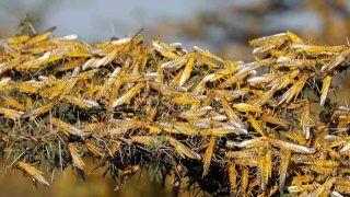 Chhattisgarh: फसलों पर मंडरा रहा है टिड्डी दल का खतरा, सरकार ने निपटने के लिए शुरू की तैयारी