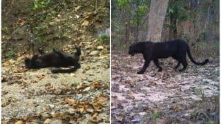 Black Leopard Spotted in Madhya Pradesh's Pench Tiger Reserve: Return of Mowgli's Bagheera Likely to Increase Tourism