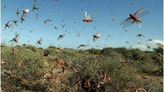 'Straight From Hell': Locust Swarm Now Reaches UP's Prayagraj, Terrifying Videos Surface Online