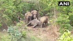 खूनी संघर्ष: जंगली हाथियों ने 40 साल के पालतू नर हाथी 'काल भैरव' को मार डाला, मादा हथिनियों से...