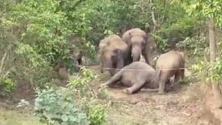 After Kerala, 2 Elephants Die in Chhattisgarh; Herd Mourns Loss By Gathering Around the Body | Watch