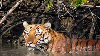 Sundarban Tiger Reserve Set to Reopen Its Gates to Tourists as COVID-19 Lockdown Eases