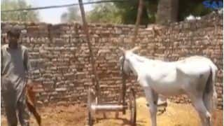 How Bizarre! Donkey Arrested On Charge of Gambling in Pakistan, FIR Also Filed Against It