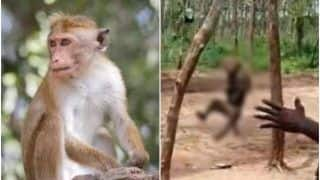 Monkey Hanged to Death in Telangana's Khammam, Horrific Video Sparks Social Media Uproar; Netizens Say 'Humans Are the Most Dangerous'