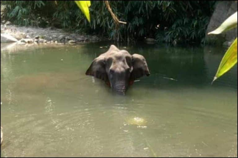 Kerala Forest Department Launches 'Manhunt' After Villager Feeds Pineapple Stuffed With Crackers to Pregnant Elephant