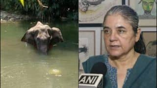 Fact Check: Pregnant Elephant Was NOT 'Fed' Cracker-Stuffed 'Pineapple' in Kerala's 'Malappuram', Maneka Gandhi Called Out For Communalising Animal's Death
