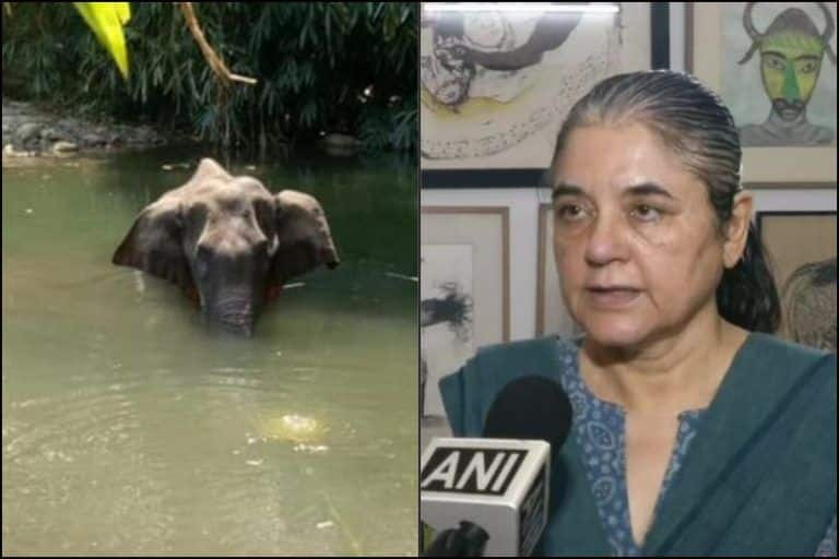 Fact Check: Elephant Was NOT 'Fed' Cracker-Stuffed 'Pineapple' in Kerala's 'Malappuram', Maneka Gandhi Called Out