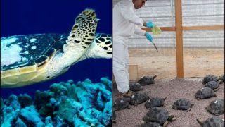 Endangered Green Sea Turtles Grab Eyeballs For Hatching Eggs on Galapagos Islands