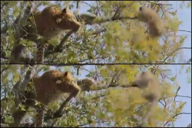 Viral Video: Monkey Holding on to Tree Branch as Leopard Tries to Shake it Off is Latest Lesson in Survival of The Fittest