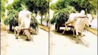 'Aatmanirbhar' Bull Leaves Twitter Mesmerised After Pulling Cart Without Directions From Owner | WATCH