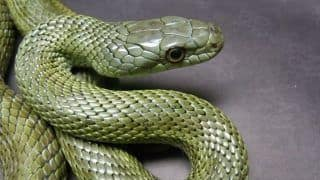 Five-Feet-Long Rat Snake Found Under Staircase at Tennis Stadium in Delhi, Later Released Back Into the Wild