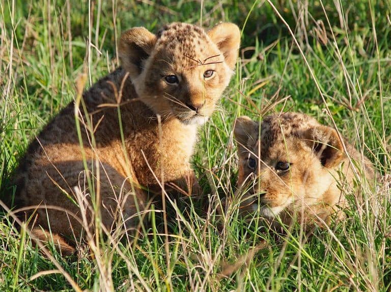 Two Lion Cubs Drown After Falling into Open Well in Gujarat's Gir Forest