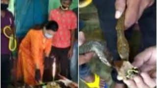 'Heights of Stupidity': Jamshedpur Snake Rescuers Cut Cake & Feed it to Them on World Snake Day, Twitter is Aghast | Watch