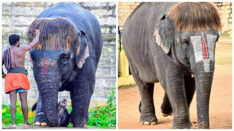 Meet 'Bob-Cut' Sengamalam, An Elephant in Tamil Nadu Who's Going Viral Because of Her Unique Hairstyle