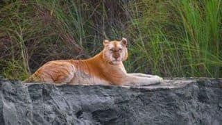 Golden Tigress in Kaziranga a Case of Colour Aberration Caused by Unique Gene, Say Experts